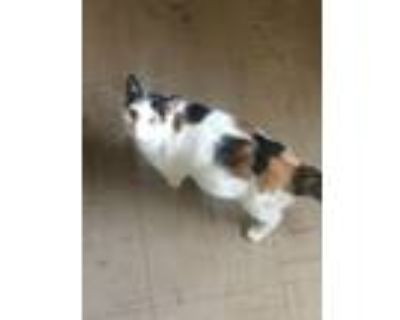 Adopt Kitty a White (Mostly) Calico / Mixed (short coat) cat in Little Ferry