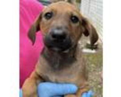 Adopt Uno Boy - Game litter of 8 a Hound (Unknown Type) / Labrador Retriever dog