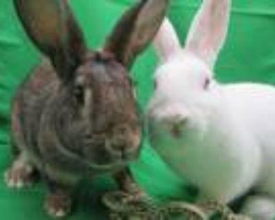 Adopt Jenny & Lotte a Agouti Dwarf / Mixed (medium coat) rabbit in Newport