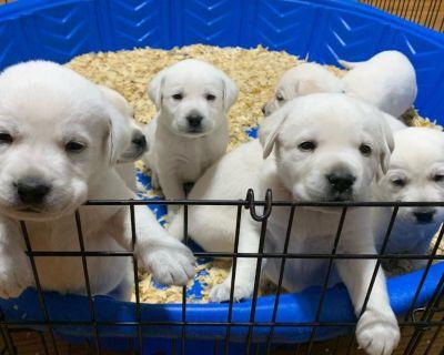 Healthy and home trained Labrador Retriever pups for adoption.