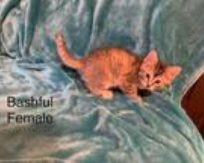 Adopt Bashful a Domestic Shorthair / Mixed cat in Norman, OK (31692104)