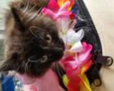 Adopt Rose and Ivy a Maine Coon / Mixed cat in Buena Park, CA (31293803)