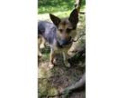 Adopt Annika a German Shepherd Dog