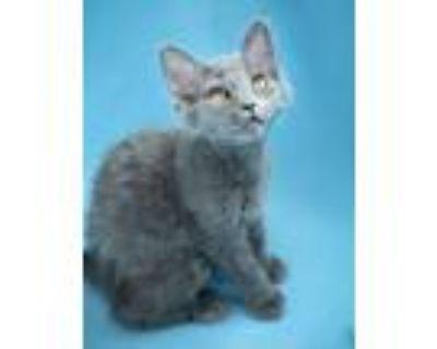 Adopt Huey Bear a Gray or Blue Domestic Longhair / Mixed (long coat) cat in