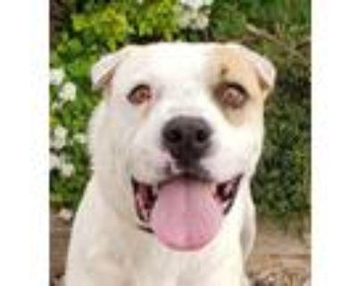 Adopt Darling Mr Dalton ~ LabPei a Labrador Retriever, Shar-Pei