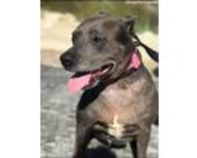 Adopt Dannie a Black - with Gray or Silver Terrier (Unknown Type