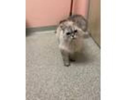 Adopt Cloud (Golden Paw) a Gray or Blue Persian / Domestic Shorthair / Mixed cat