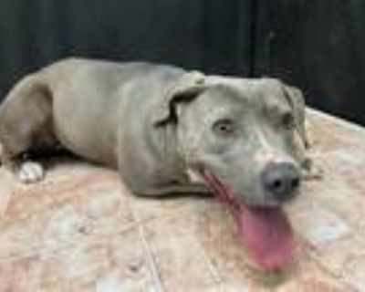 Adopt DAPHNE a Gray/Silver/Salt & Pepper - with White American Pit Bull Terrier