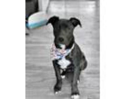 Adopt Luna a Black Labrador Retriever, American Staffordshire Terrier