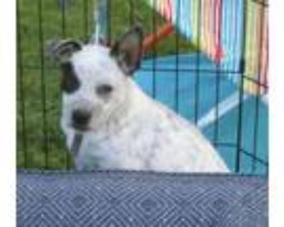 Adopt Freckles a Australian Cattle Dog / Blue Heeler