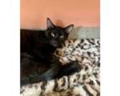 Adopt Dashi a All Black Domestic Shorthair / Domestic Shorthair / Mixed cat in