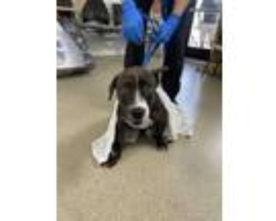 Adopt 48306324 a Brindle American Pit Bull Terrier / Mixed dog in Fort Worth