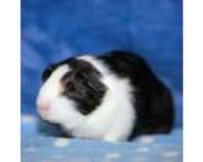 Adopt Rolls a Guinea Pig