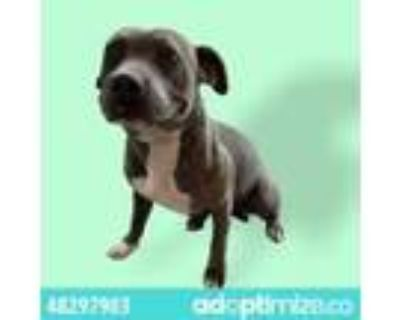 Adopt 48297903 a Brown/Chocolate American Pit Bull Terrier / Mixed dog in El
