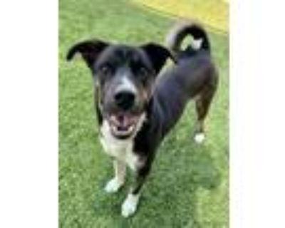 Adopt NATE a Australian Cattle Dog / Blue Heeler, Mixed Breed