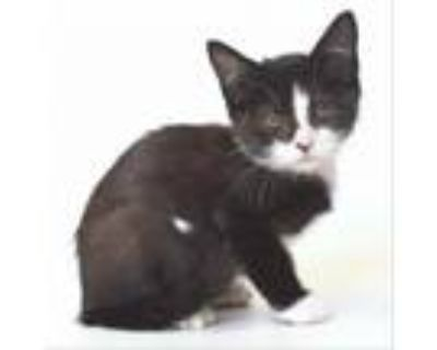 Adopt Chavez a All Black Domestic Shorthair / Mixed cat in Springfield
