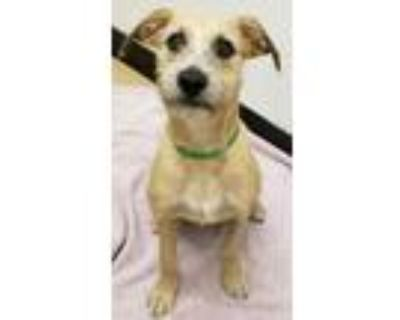 Adopt Stella a Brown/Chocolate Terrier (Unknown Type, Small) / Mixed dog in