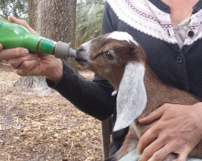 Purebred Nubian goat bottle babies-ADGA doelings & Bucklings