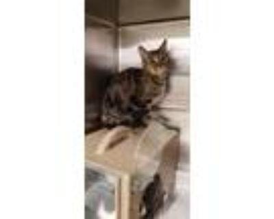 Adopt Pretty Girl a Gray or Blue Domestic Longhair / Domestic Shorthair / Mixed