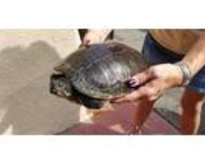 Adopt ARETHA a Turtle - Other / Mixed reptile, amphibian