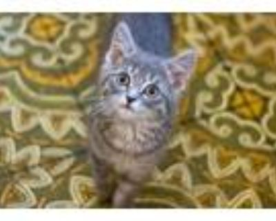 Adopt Hodges a Gray or Blue Domestic Shorthair / Mixed cat in Morgantown