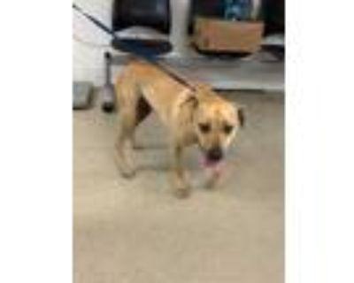 Adopt Saffron a Red/Golden/Orange/Chestnut Labrador Retriever / Mixed dog in