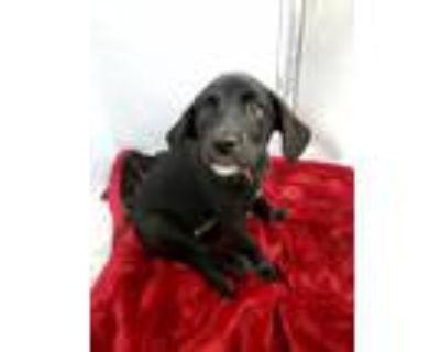 Adopt Sheba a Labrador Retriever / Mixed Breed (Medium) / Mixed dog in Fort