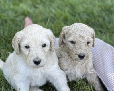 F1BB Goldendoodle puppies