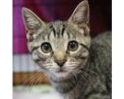 Adopt Rose a Brown or Chocolate Domestic Shorthair / Mixed cat in Buffalo