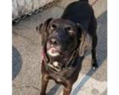 Adopt Surf Khal Drogo a Black Beagle / Labrador Retriever / Mixed dog in