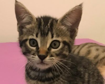 Coco Tanaka - Domestic Shorthair - Kitten Female
