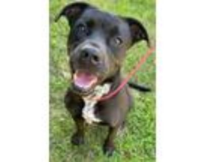 Adopt Maggie a Black Boxer / Pit Bull Terrier / Mixed dog in Little Rock
