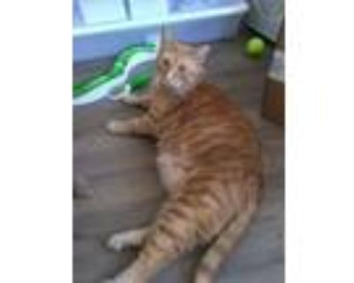 Adopt Buzz a Orange or Red Tabby Domestic Shorthair (short coat) cat in Duluth