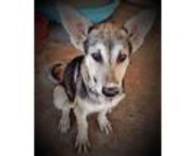 Adopt Arlo Jax - AJ a Tan/Yellow/Fawn - with Black German Shepherd Dog / Mixed