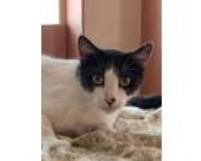 Adopt Ash a White Domestic Shorthair / Domestic Shorthair / Mixed cat in Tucson