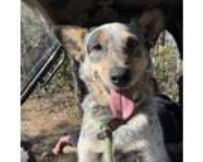 Adopt Sully a Australian Cattle Dog / Blue Heeler