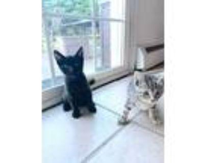 Lizzy (lemon) & Fitz (citrus), Domestic Shorthair For Adoption In Philadelphia