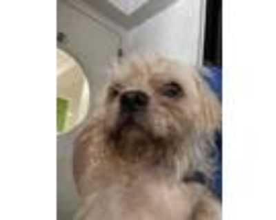 Adopt Stormie a Tan/Yellow/Fawn Shih Tzu / Mixed dog in Fort Worth