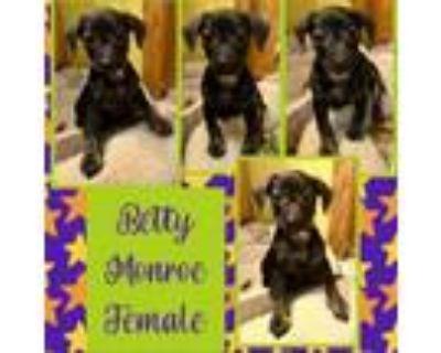 Adopt Betty Monroe a Miniature Pinscher