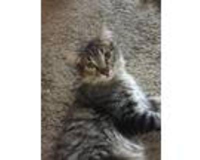 Adopt Snuggles a Gray or Blue Domestic Mediumhair / Mixed (medium coat) cat in