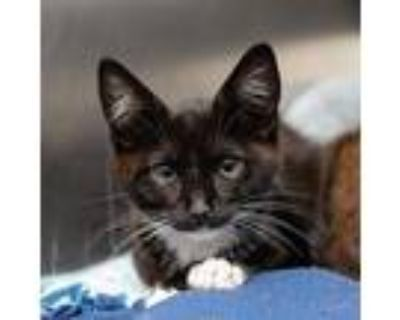 Jean Luc, Domestic Shorthair For Adoption In Los Angeles, California