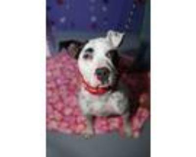 Adopt Spot a Pit Bull Terrier, Dalmatian