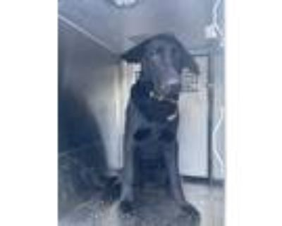 Adopt 48004409 a Black German Shepherd Dog / Mixed dog in Fort Worth