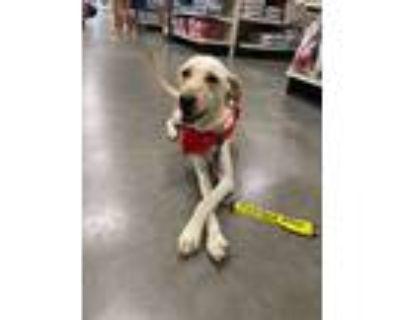 Adopt Sinclair a Labrador Retriever