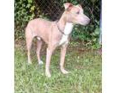 Adopt Jo a Tan/Yellow/Fawn Italian Greyhound / Mixed dog in Moultrie