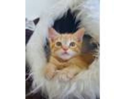 Adopt Buck a Domestic Shorthair cat in Denver, CO (31621159)