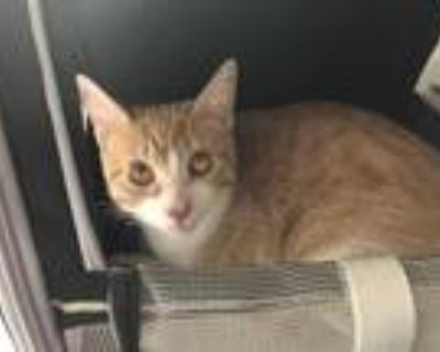 Adopt KITTY a Orange or Red Tabby Domestic Shorthair / Mixed (short coat) cat in