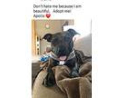Apollo, Pit Bull Terrier For Adoption In West Bend, Wisconsin