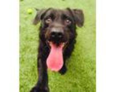 Adopt Scraggles a Labrador Retriever / Patterdale Terrier (Fell Terrier) / Mixed