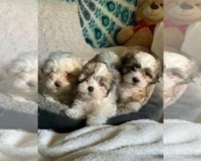 TEDDY BEARS ZUCHON SHIHPOO MIX DAISY DOG PUPPIES